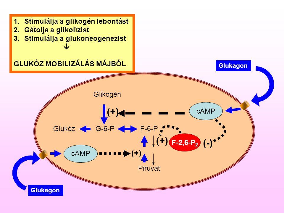 (+) (+) (-) (+) Stimulálja a glikogén lebontást Gátolja a glikolízist