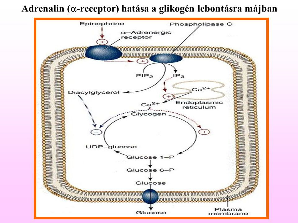 Adrenalin (a-receptor) hatása a glikogén lebontásra májban