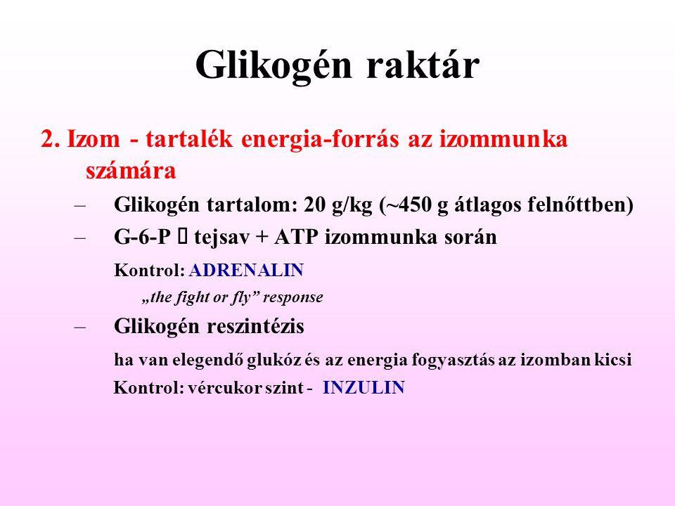 Glikogén raktár 2. Izom - tartalék energia-forrás az izommunka számára