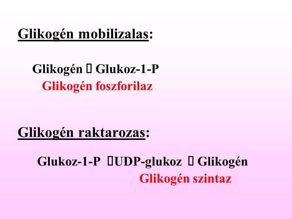 Glikogén mobilizalas: