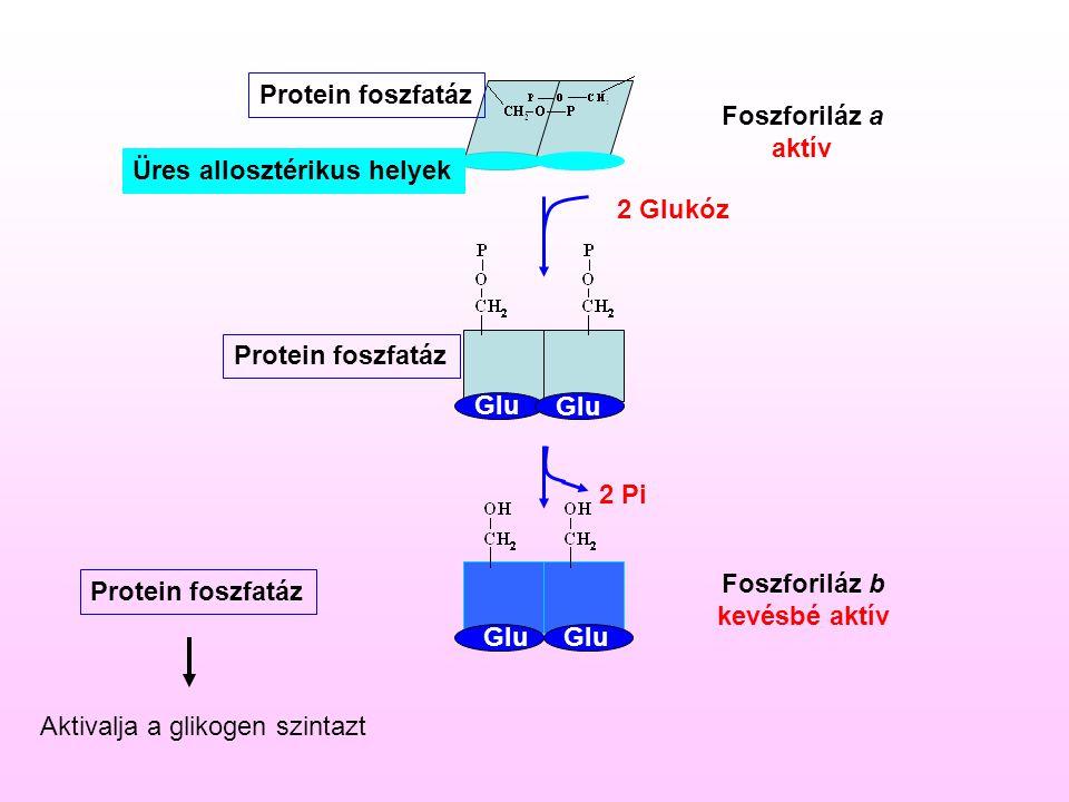 Protein foszfatáz Foszforiláz a. aktív. Üres allosztérikus helyek. 2 Glukóz. Protein foszfatáz.