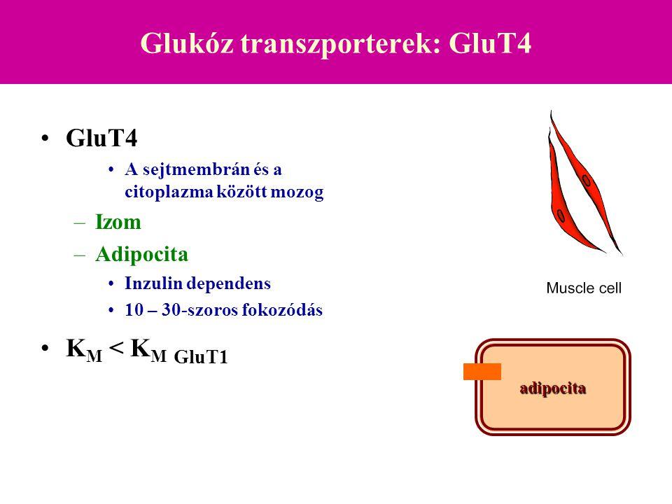 Glukóz transzporterek: GluT4