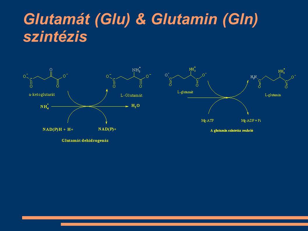 Glutamát (Glu) & Glutamin (Gln) szintézis
