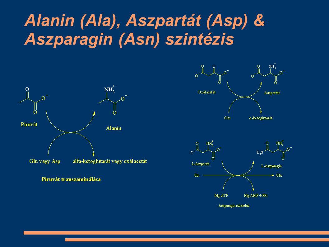 Alanin (Ala), Aszpartát (Asp) & Aszparagin (Asn) szintézis