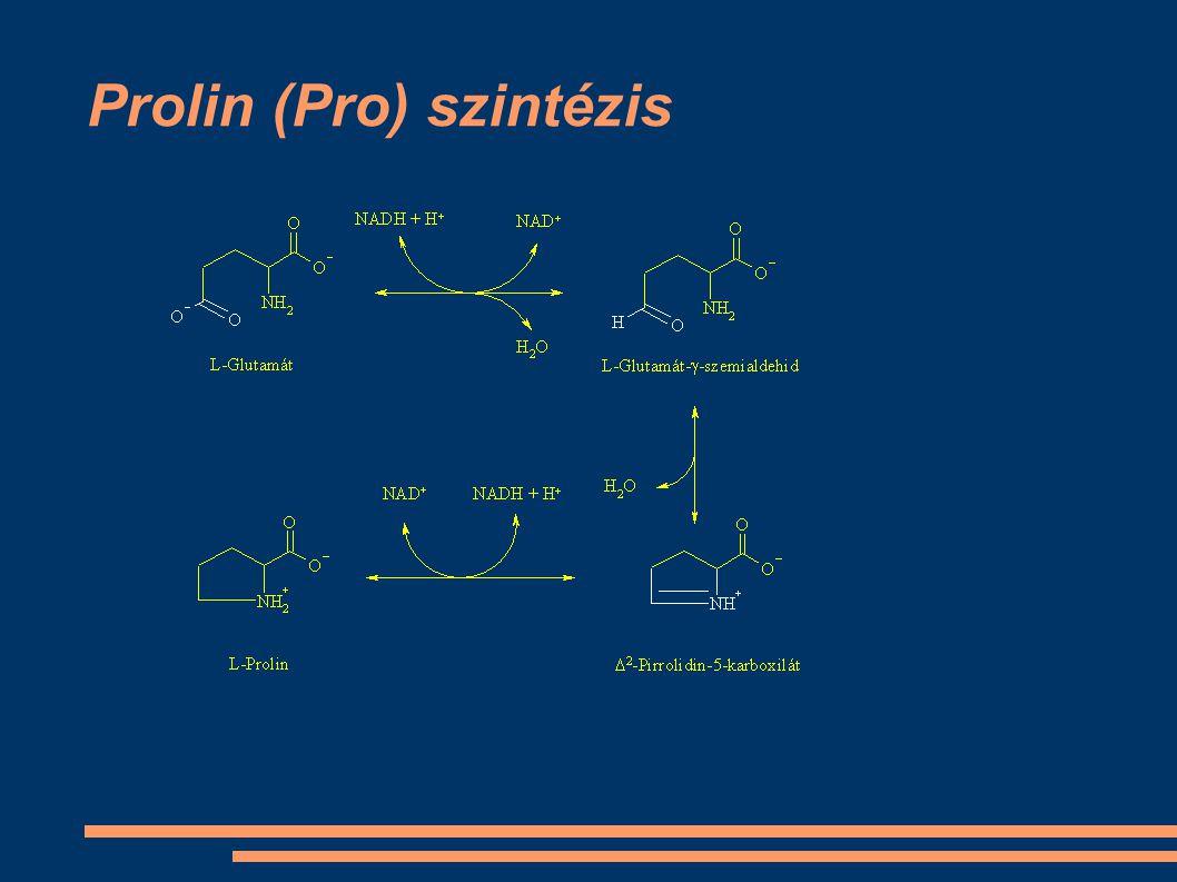 Prolin (Pro) szintézis