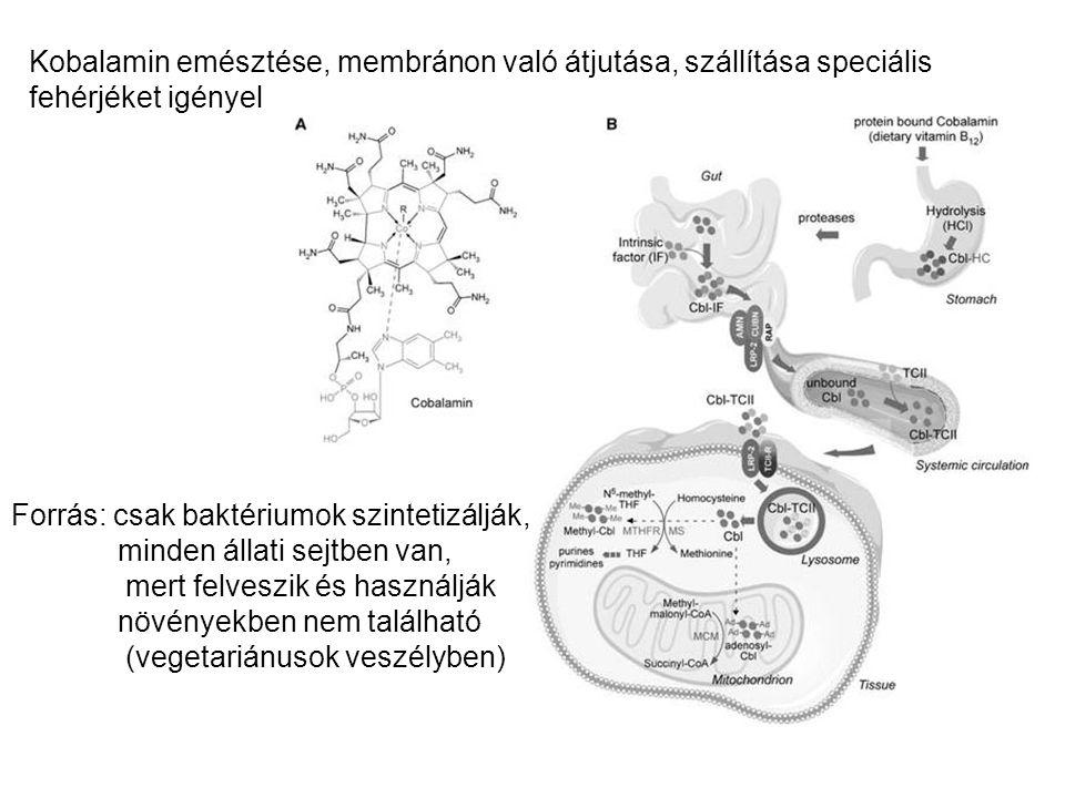 Kobalamin emésztése, membránon való átjutása, szállítása speciális fehérjéket igényel