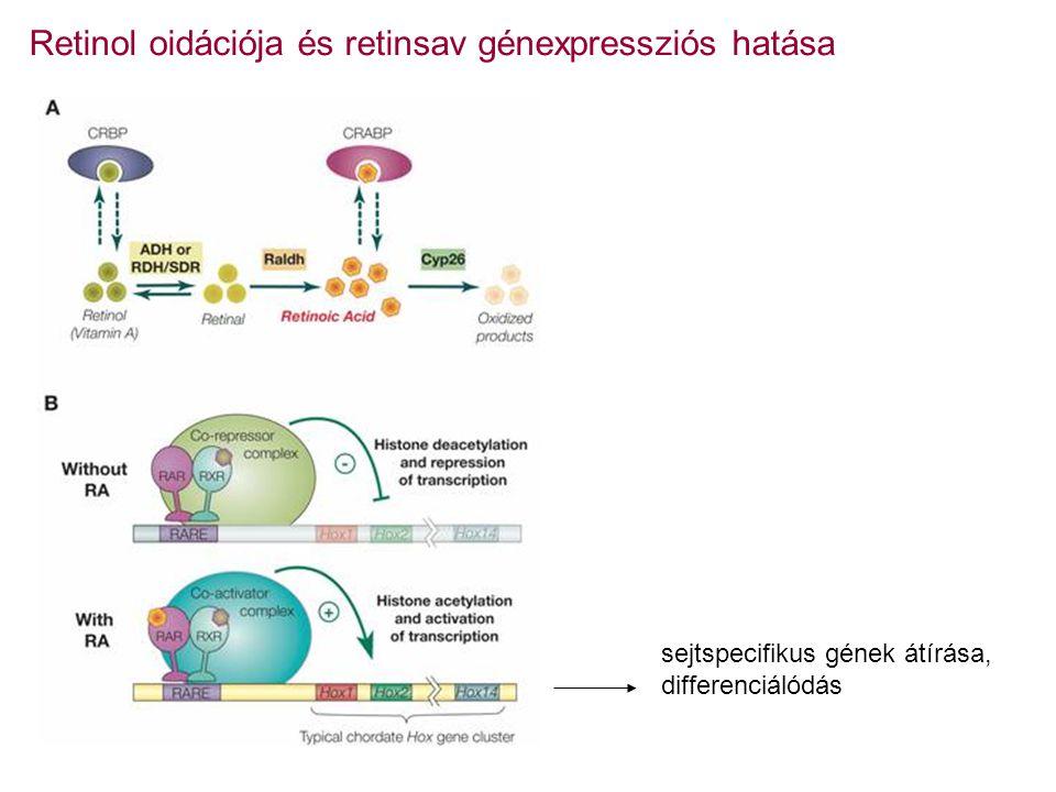 Retinol oidációja és retinsav génexpressziós hatása