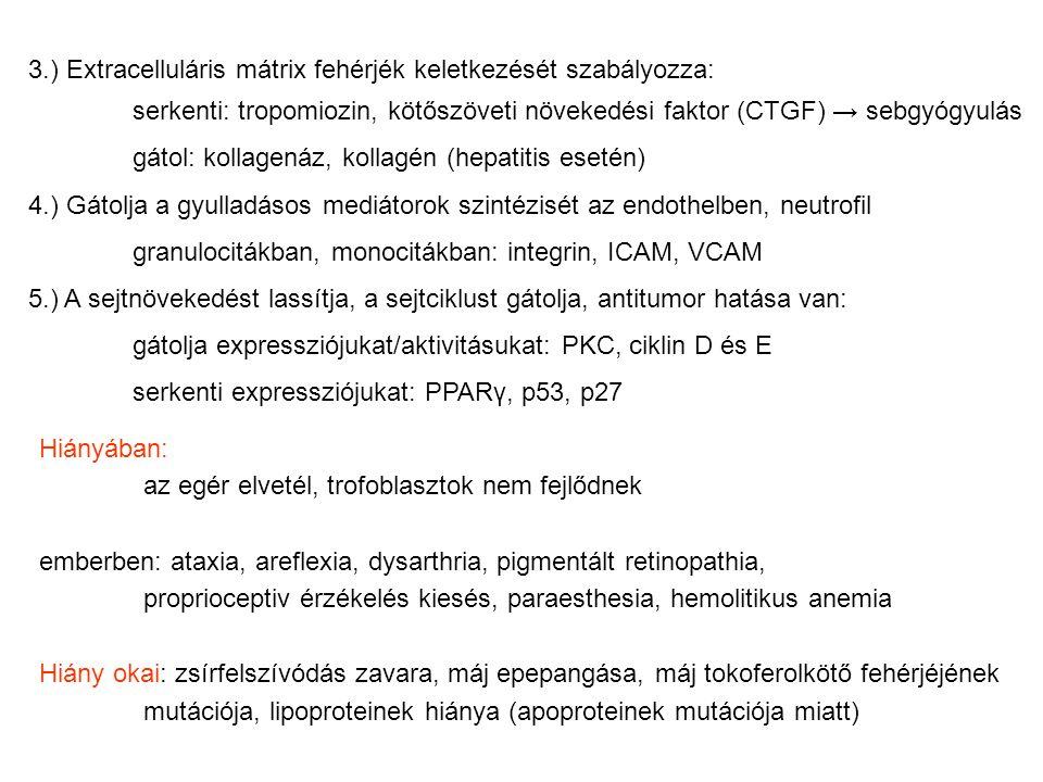 3.) Extracelluláris mátrix fehérjék keletkezését szabályozza:
