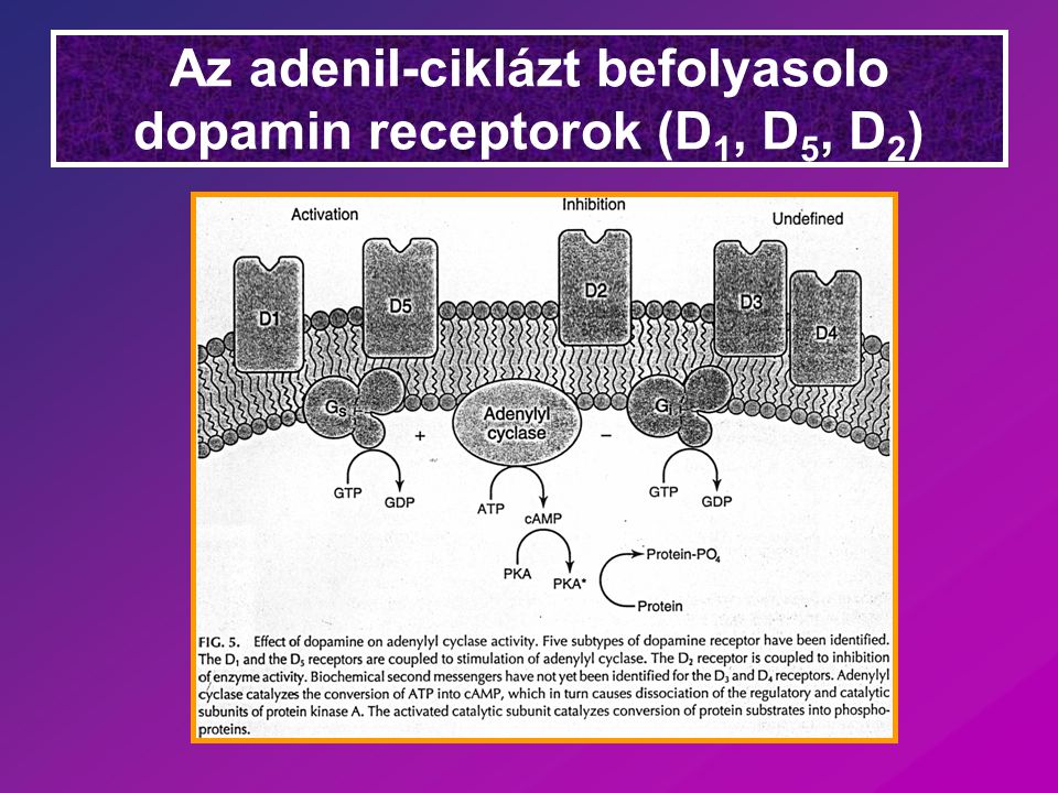 Az adenil-ciklázt befolyasolo dopamin receptorok (D1, D5, D2)