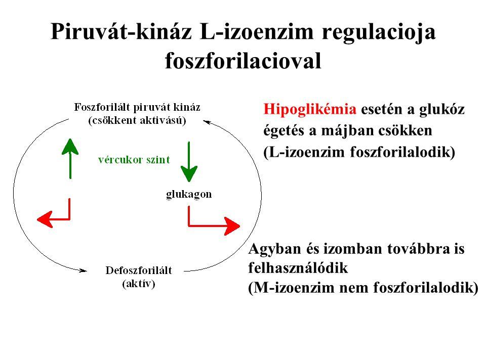 Piruvát-kináz L-izoenzim regulacioja foszforilacioval