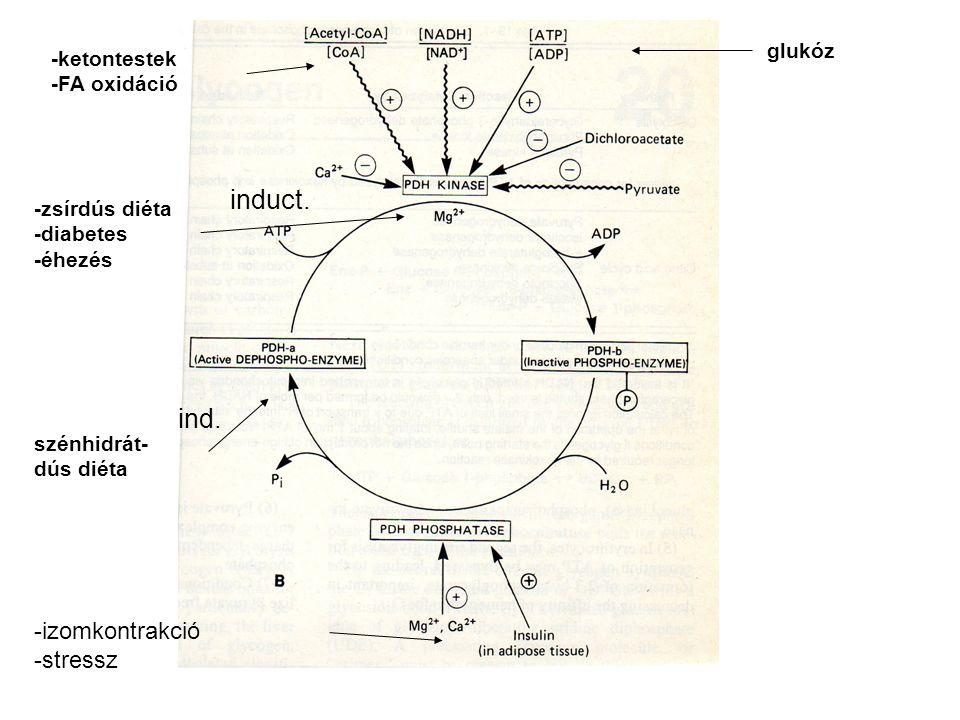 induct. ind. -izomkontrakció -stressz glukóz -ketontestek -FA oxidáció