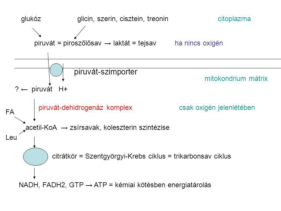 piruvát-szimporter glukóz glicin, szerin, cisztein, treonin citoplazma