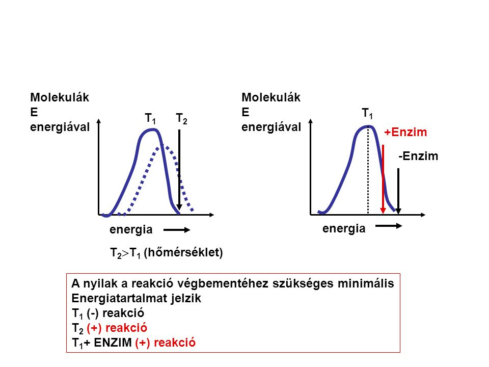 Molekulák E. energiával. Molekulák. E. energiával. T1. T1. T2. +Enzim. -Enzim. energia. energia.