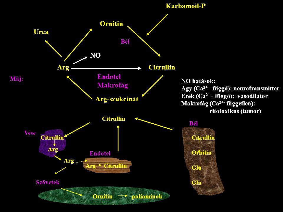 Karbamoil-P Ornitin Urea NO Arg Citrullin Endotel Makrofág
