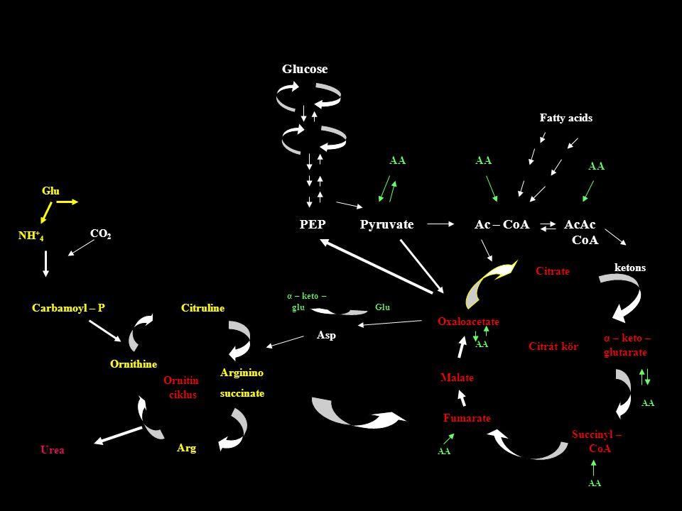 PEP Pyruvate Ac – CoA AcAc CoA