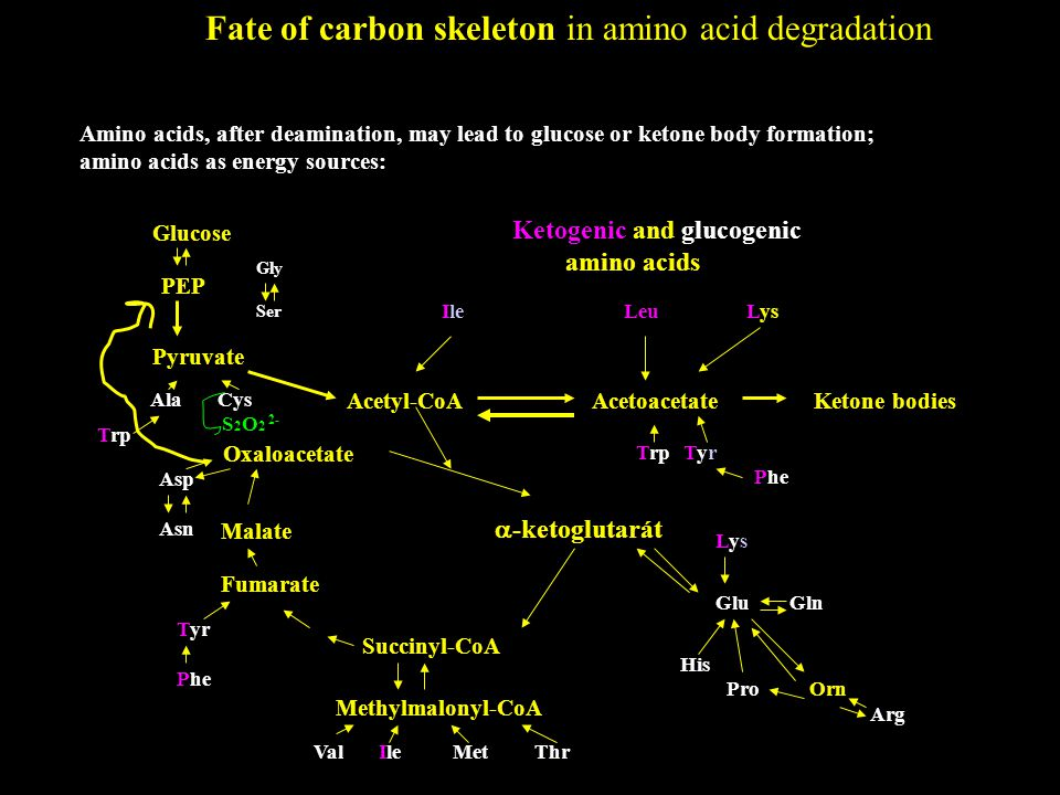 Fate of carbon skeleton in amino acid degradation