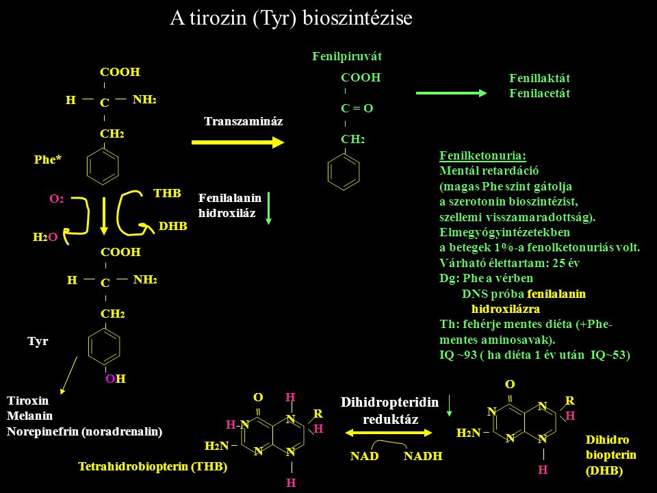 A tirozin (Tyr) bioszintézise