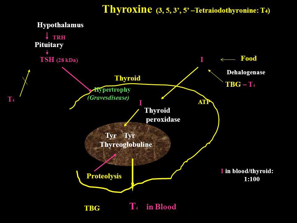 Thyroxine (3, 5, 3', 5' –Tetraiodothyronine: T4)