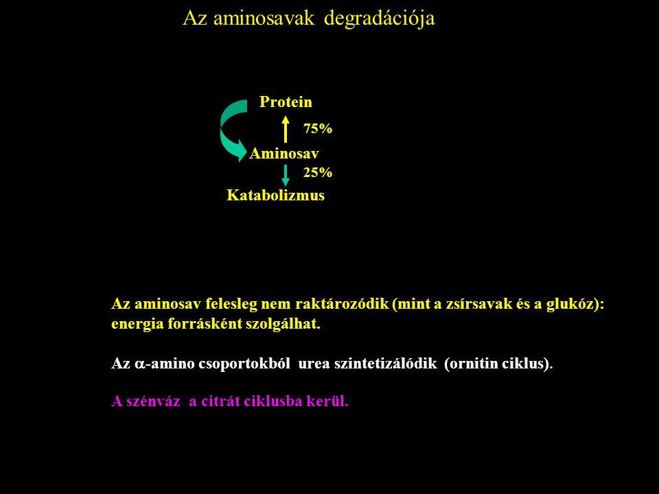 Az aminosavak degradációja