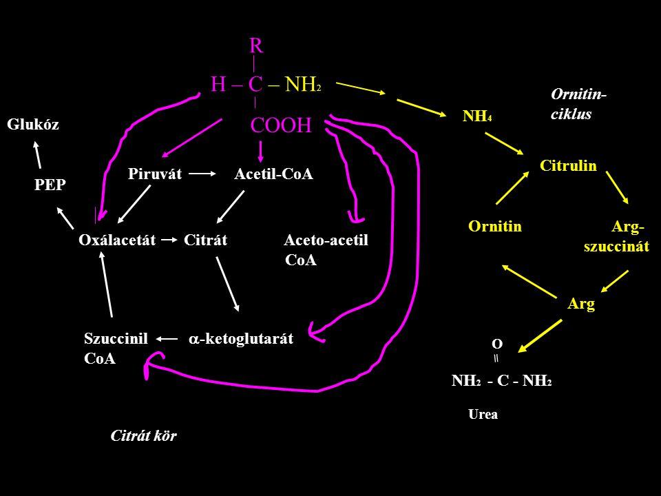 R H – C – NH2 COOH Ornitin- ciklus NH4 Glukóz Citrulin