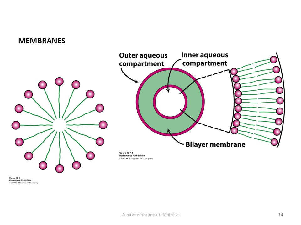 A biomembránok felépítése