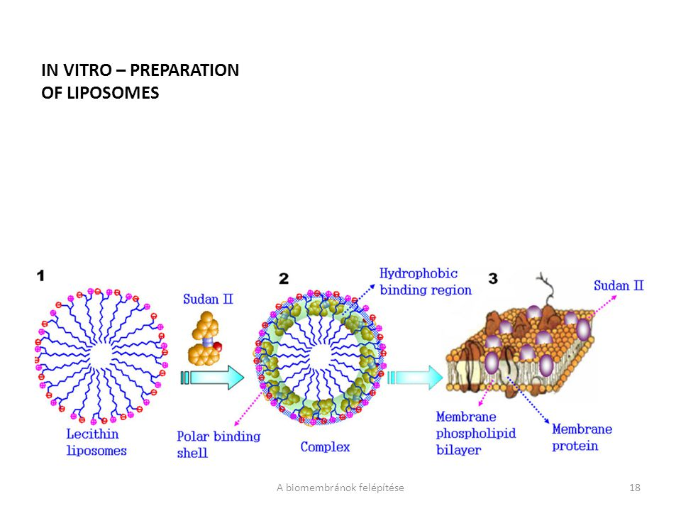 IN VITRO – PREPARATION OF LIPOSOMES