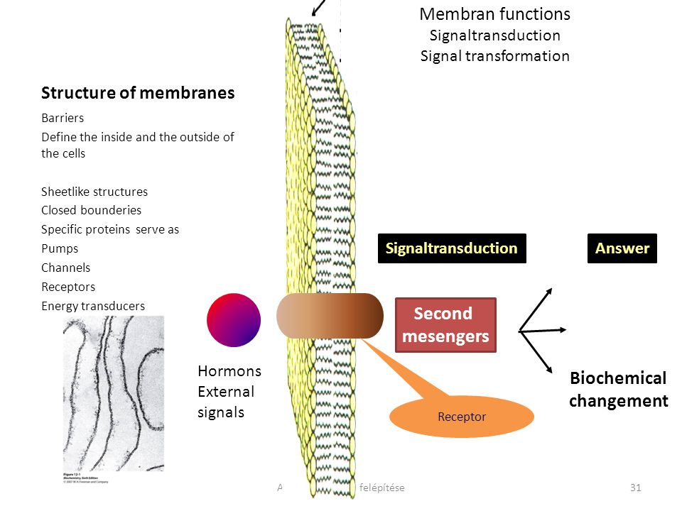 Structure of membranes