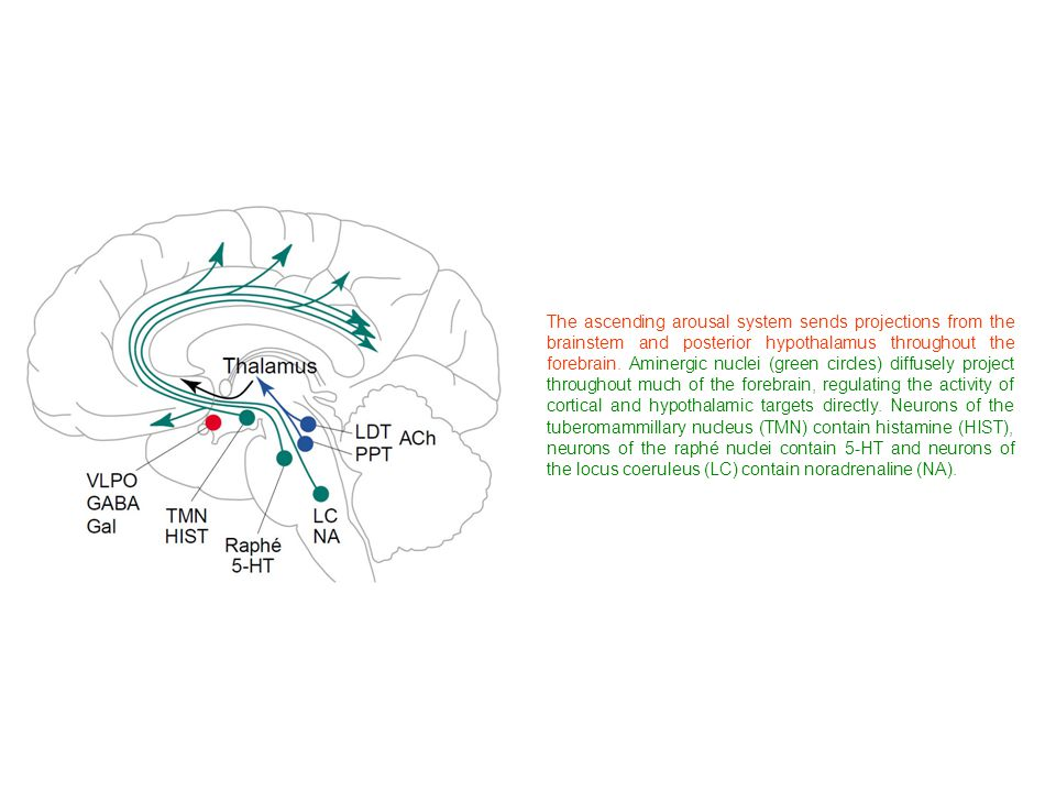 The ascending arousal system sends projections from the brainstem and posterior hypothalamus throughout the forebrain. Aminergic nuclei (green circles) diffusely project throughout much of the forebrain, regulating the activity of cortical and hypothalamic targets directly. Neurons of the tuberomammillary nucleus (TMN) contain histamine (HIST), neurons of the raphé nuclei contain 5-HT and neurons of the locus coeruleus (LC) contain noradrenaline (NA).