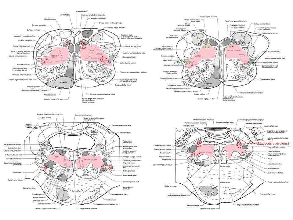 D:\A_PM\Előadások-ppt\071031-Reticular formation\Haines-page092_2012