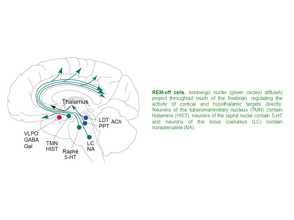 REM-off cells. Aminergic nuclei (green circles) diffusely project throughout much of the forebrain, regulating the activity of cortical and hypothalamic targets directly. Neurons of the tuberomammillary nucleus (TMN) contain histamine (HIST), neurons of the raphé nuclei contain 5-HT and neurons of the locus coeruleus (LC) contain noradrenaline (NA).