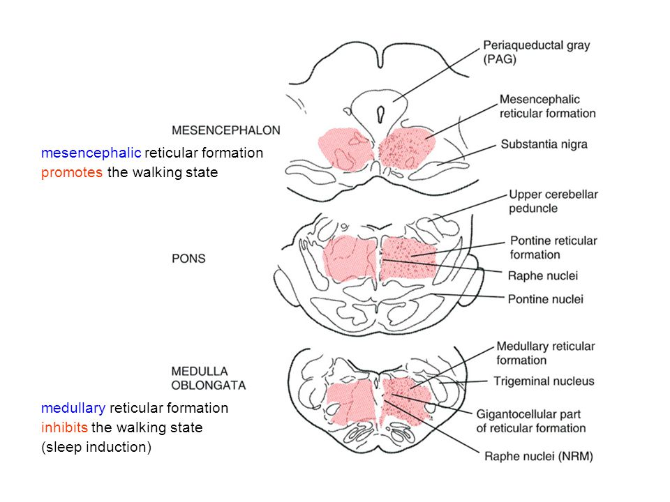 mesencephalic reticular formation promotes the walking state