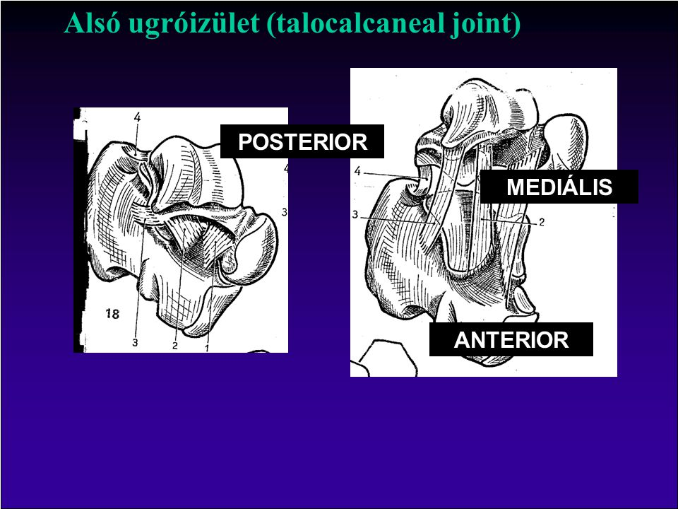 Alsó ugróizület (talocalcaneal joint)