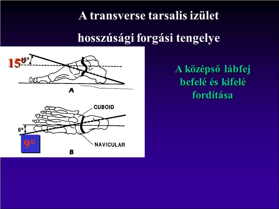 A transverse tarsalis izület hosszúsági forgási tengelye