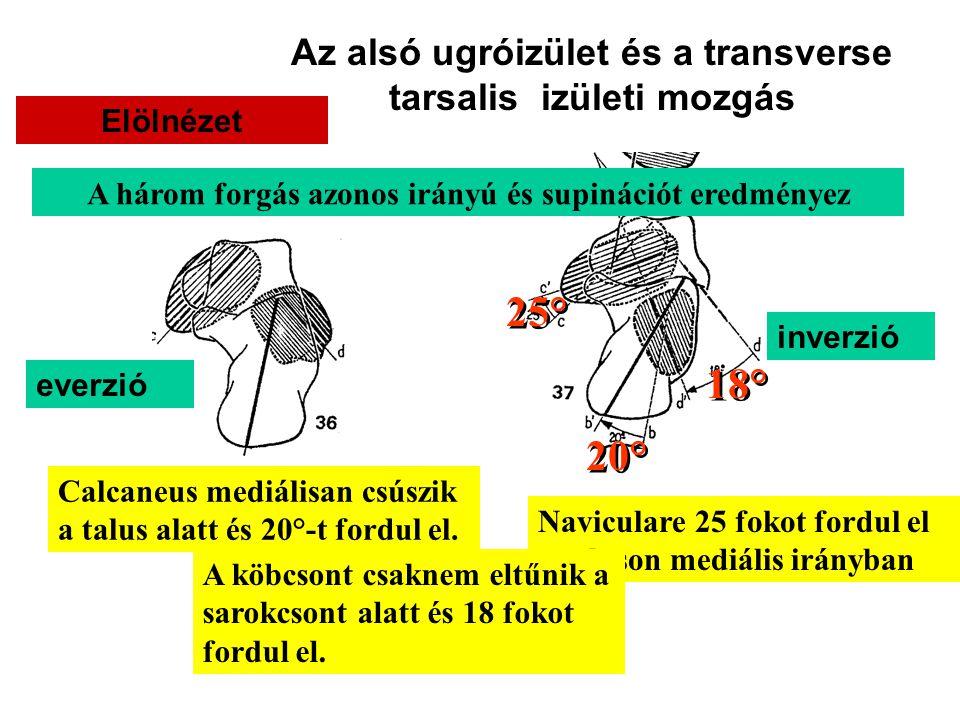 25° 18° 20° Az alsó ugróizület és a transverse tarsalis izületi mozgás