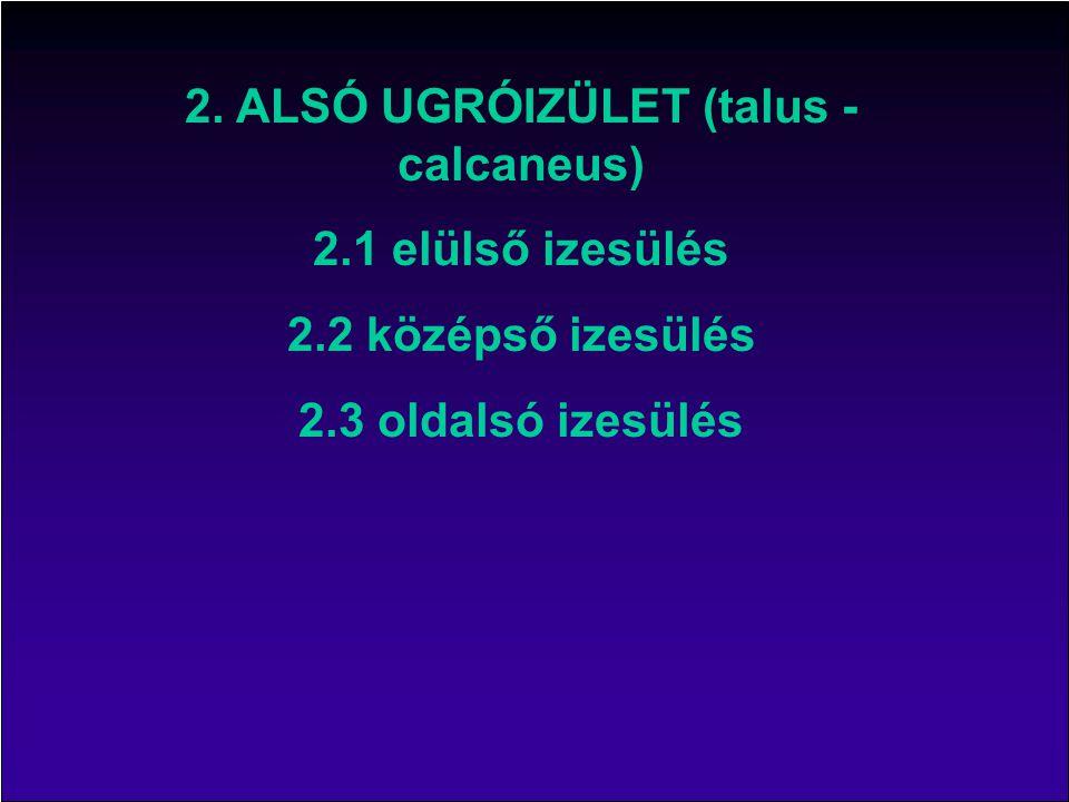 2. ALSÓ UGRÓIZÜLET (talus - calcaneus)