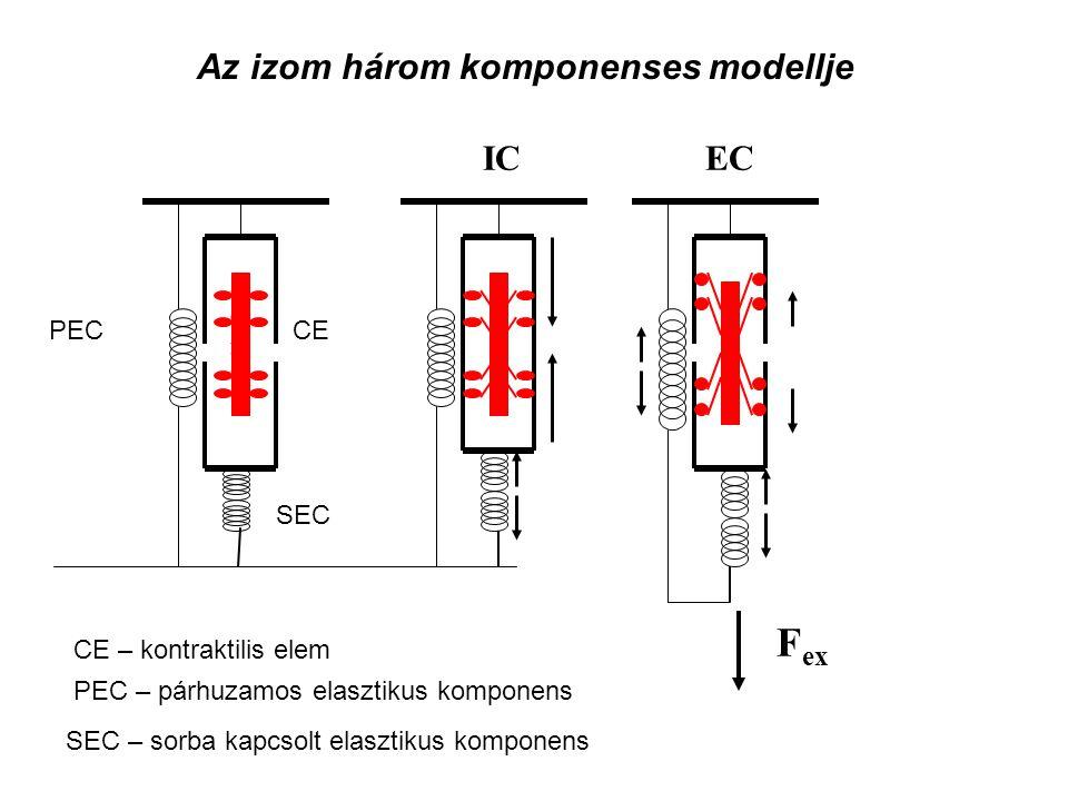 Az izom három komponenses modellje