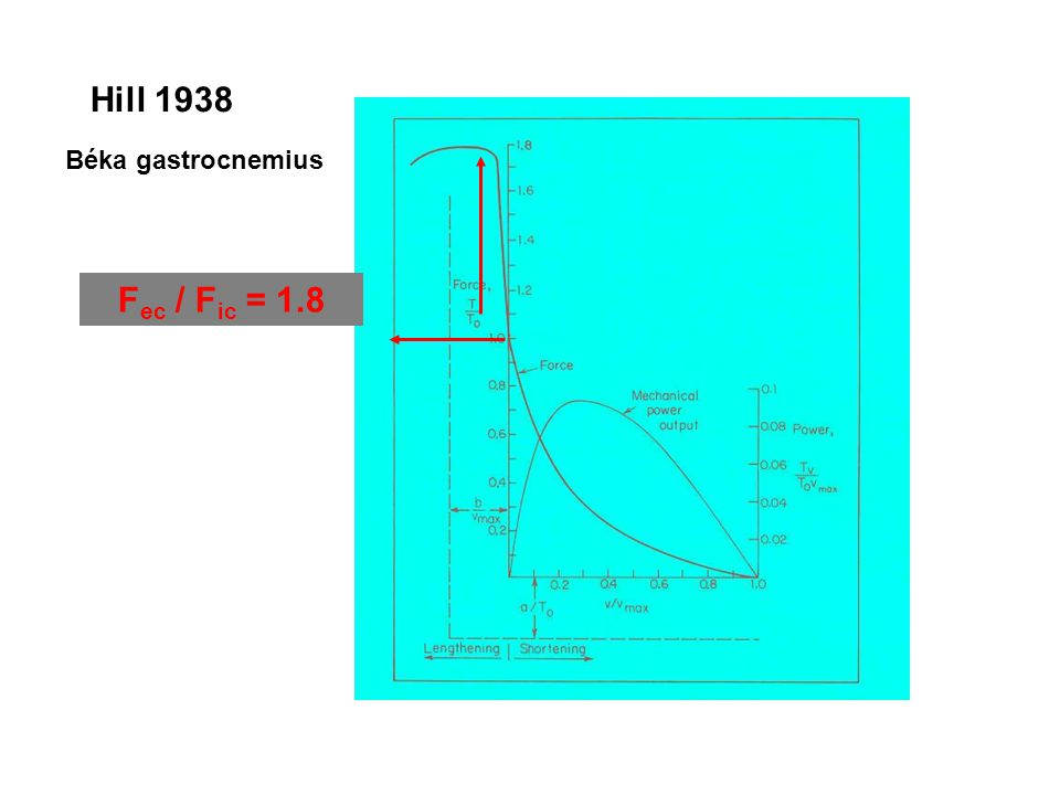 Hill 1938 Béka gastrocnemius Fec / Fic = 1.8