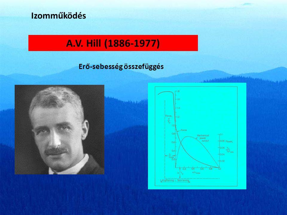 Izomműködés A.V. Hill (1886-1977) Erő-sebesség összefüggés