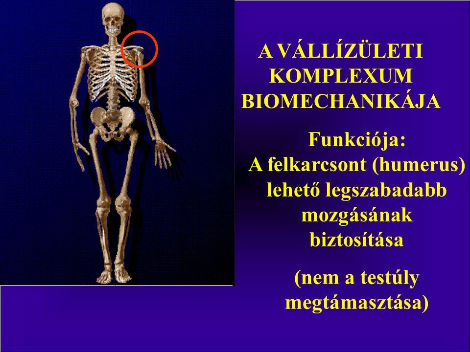 A VÁLLÍZÜLETI KOMPLEXUM BIOMECHANIKÁJA