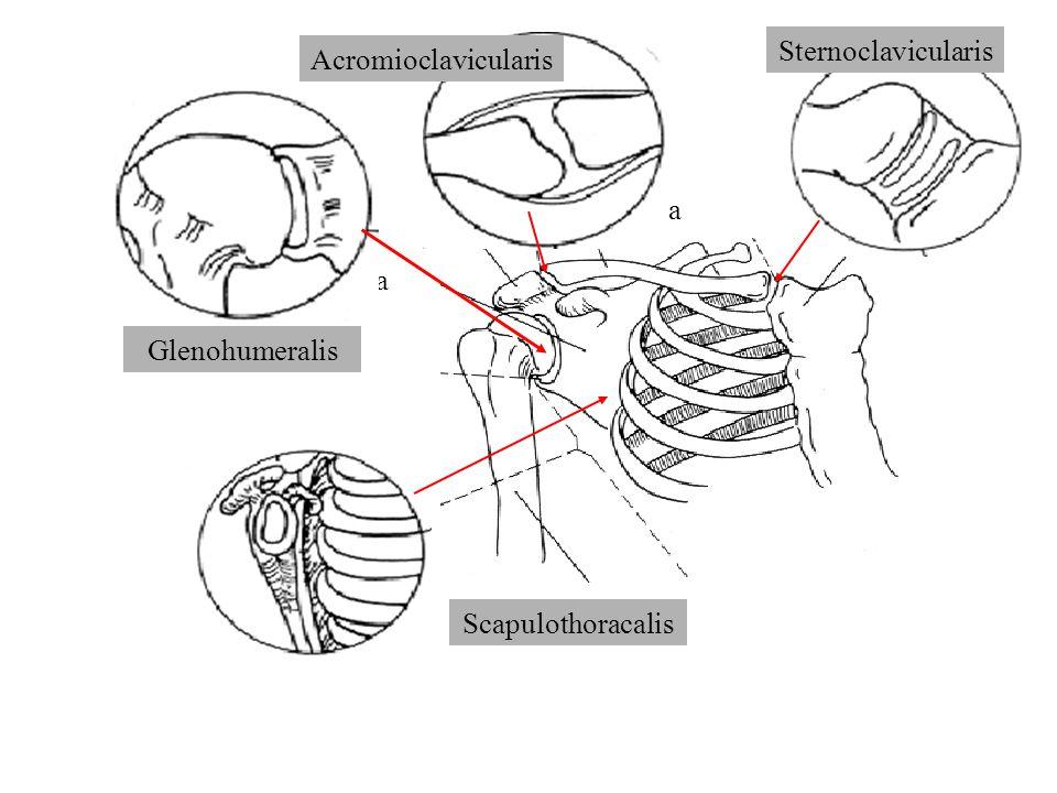 Sternoclavicularis Acromioclavicularis. Clavicula.