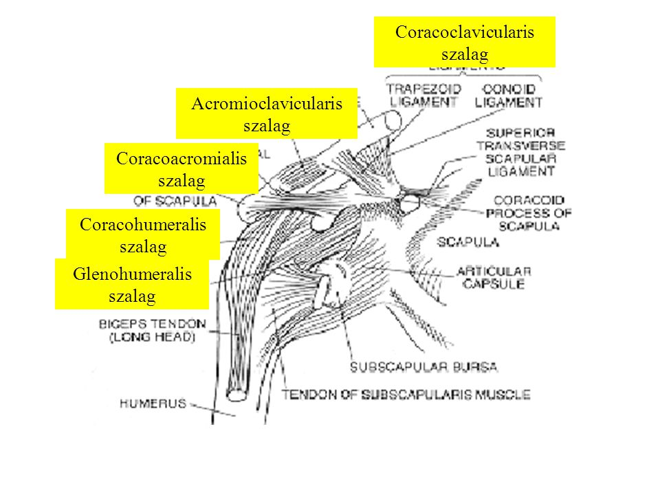 Coracoclavicularis szalag