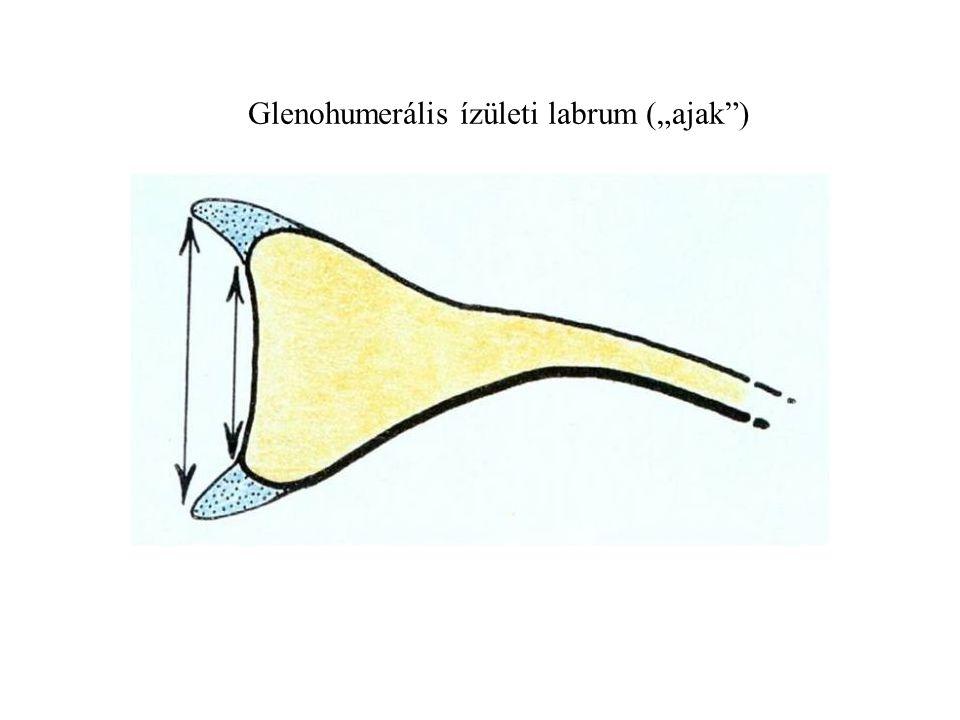 """Glenohumerális ízületi labrum (""""ajak )"""