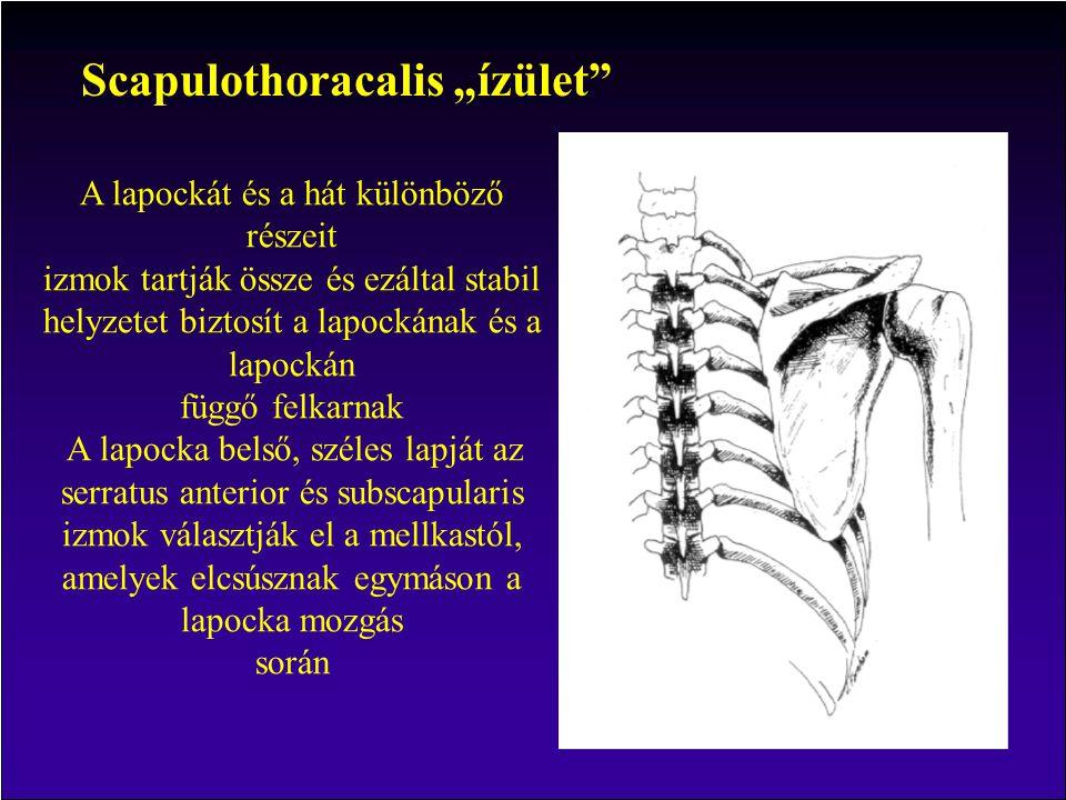 """Scapulothoracalis """"ízület"""