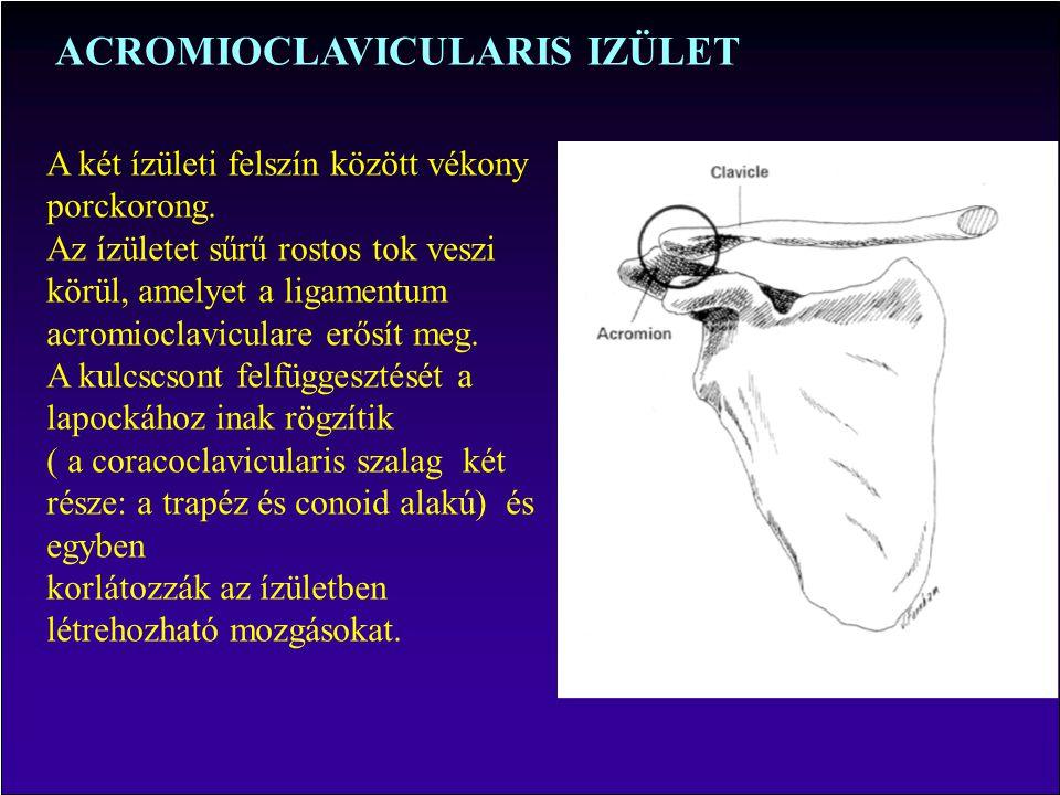 ACROMIOCLAVICULARIS IZÜLET