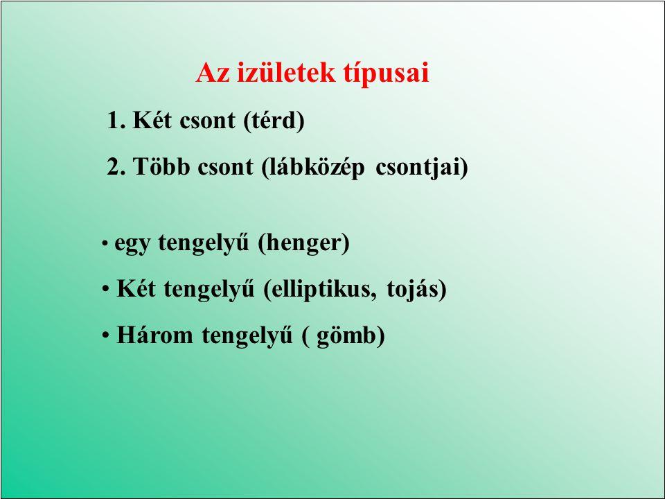 Az izületek típusai 1. Két csont (térd)