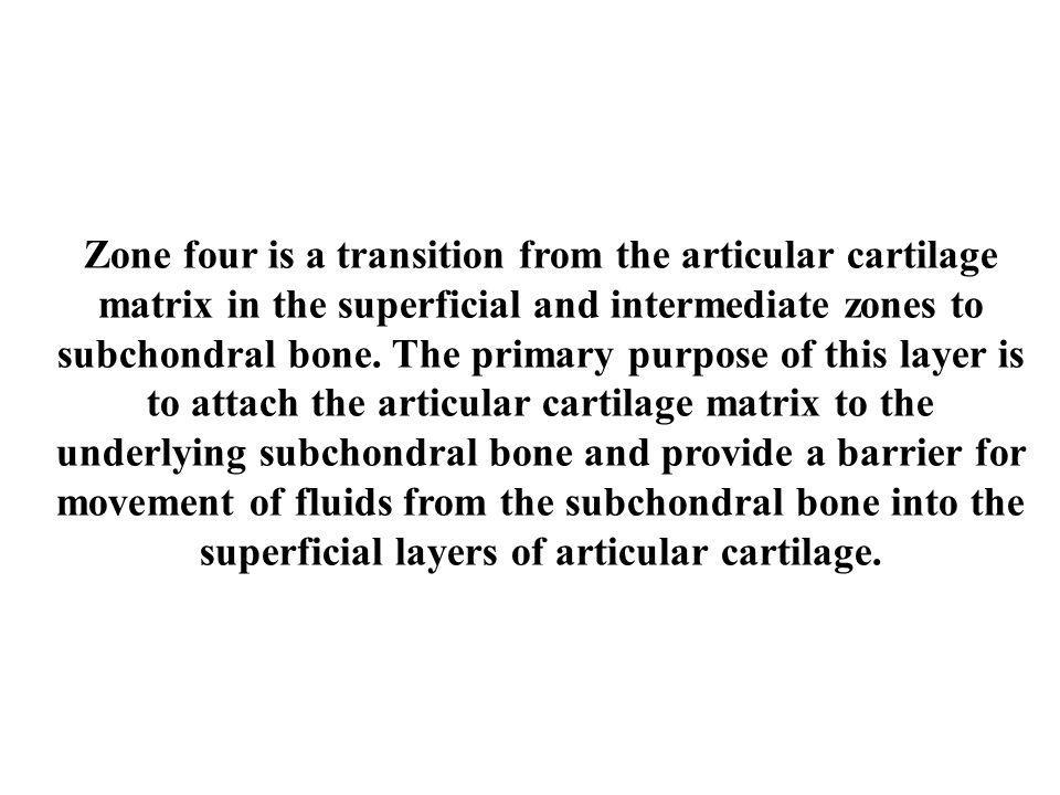 Zone four is a transition from the articular cartilage matrix in the superficial and intermediate zones to subchondral bone.