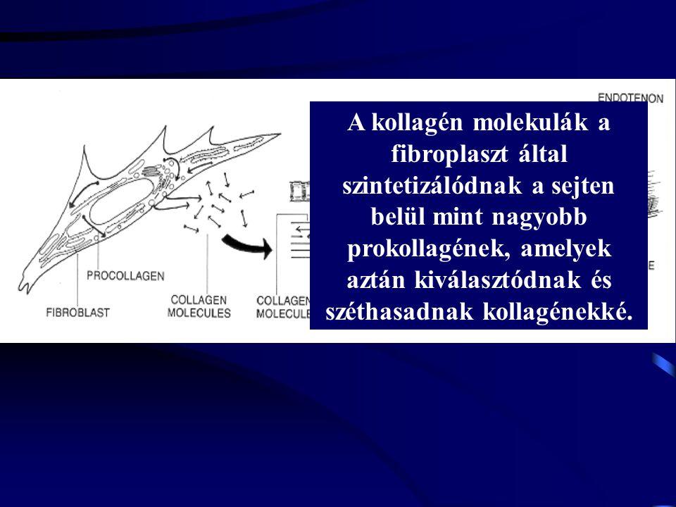 A kollagén molekulák a fibroplaszt által szintetizálódnak a sejten belül mint nagyobb prokollagének, amelyek aztán kiválasztódnak és széthasadnak kollagénekké.