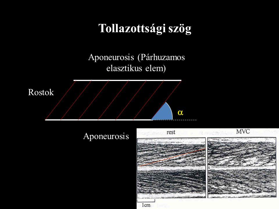 Aponeurosis (Párhuzamos elasztikus elem)