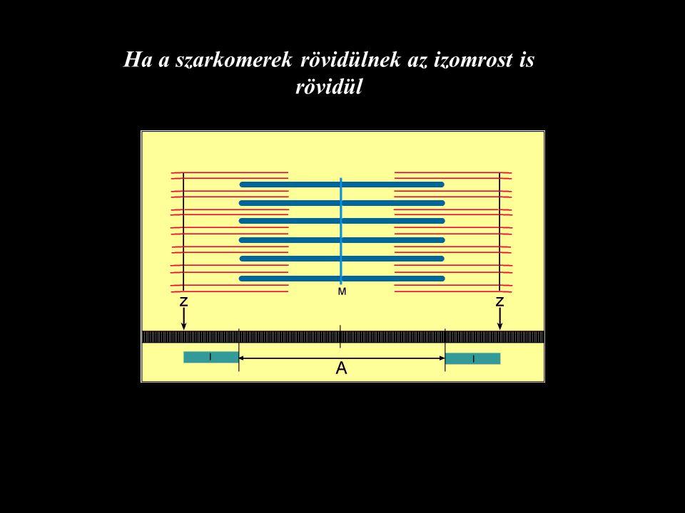 Ha a szarkomerek rövidülnek az izomrost is rövidül