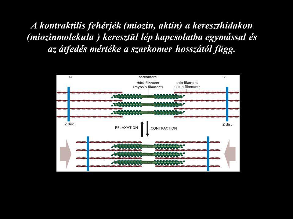 A kontraktilis fehérjék (miozin, aktin) a kereszthidakon (miozinmolekula ) keresztül lép kapcsolatba egymással és az átfedés mértéke a szarkomer hosszától függ.